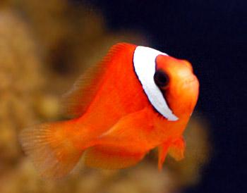 Tomato clownfish for Clown fish adaptations