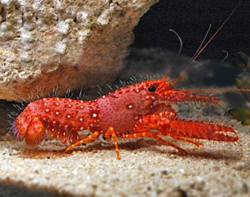 RED HAIRY LOBSTER
