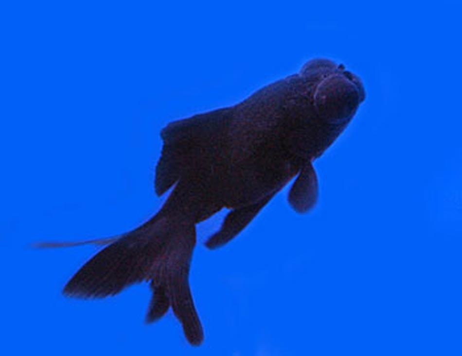 Black Goldfish Types Black Moor Goldfish