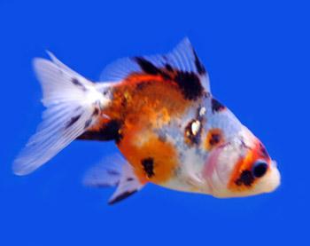 Shubunkin fancy goldfish for Shubunki fische