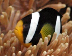 Clown Fish Species Picture