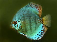 Discus Fish Species