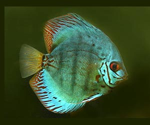 Discus Fish Picture