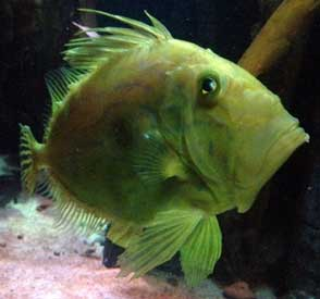 description of the john dory the john dory is a marine fish with a    What Type Of Fish Is Dory