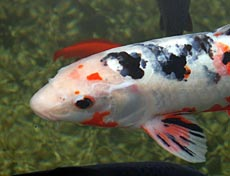 Koi Fish Species