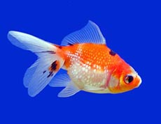 Pet Fish Picture