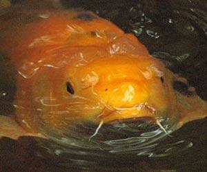 Pond fish for Pond fish identification