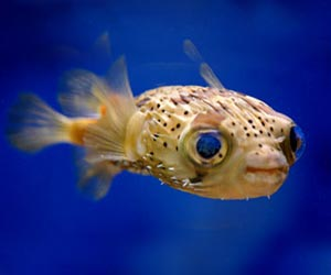 Puffer Fish Picture