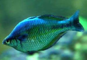 Rainbow Fish Picture