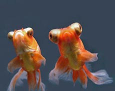 Gold Fish Species Image