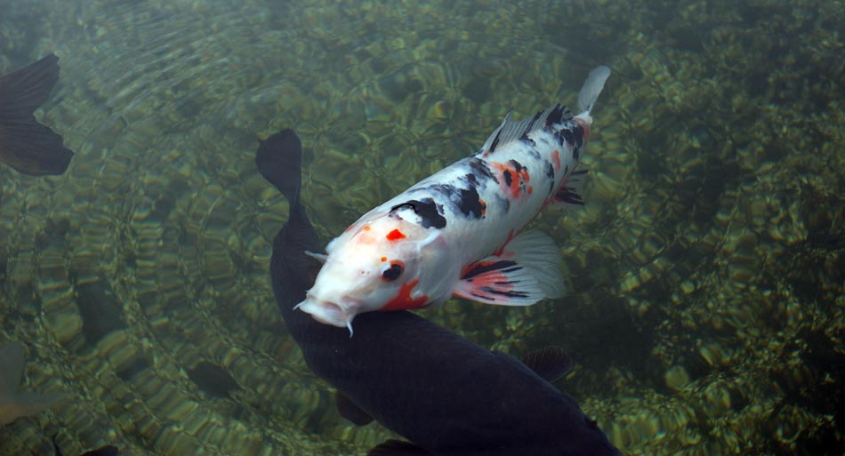 Koi fish for Koi carp fish information