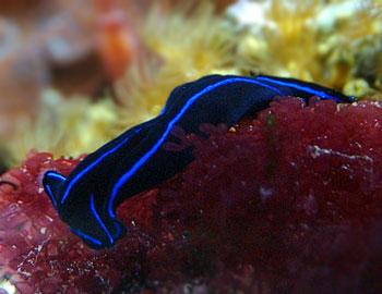 A Flatworms Diet BLUE VELVET SLUG