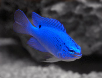 Damselfish Species | Blue Damselfish