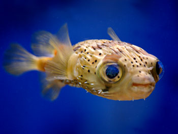 Spot fin porcupinefish for Blowfish vs puffer fish