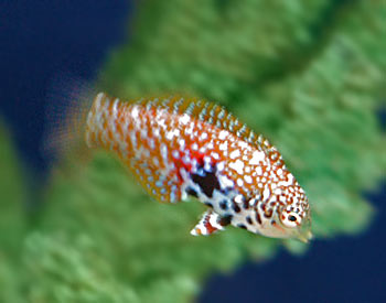 Blackspotted wrasse fish for Saltwater fish representative species