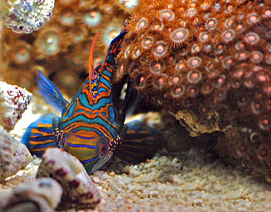 Mandarin fish food for Saltwater fish food
