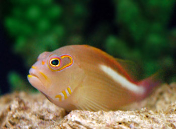 Hawkfish for Saltwater fish representative species