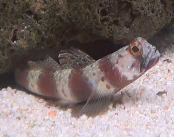 Red banded prawn goby fish for Saltwater goby fish