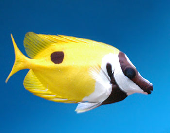 One spot foxface exotics fish loricula flame pygmy for Fox face fish
