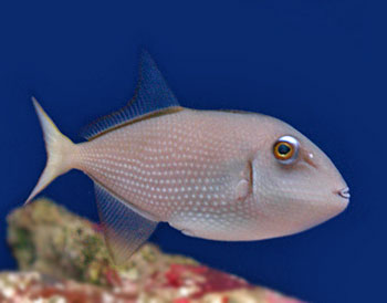 Adult blue throat triggerfish