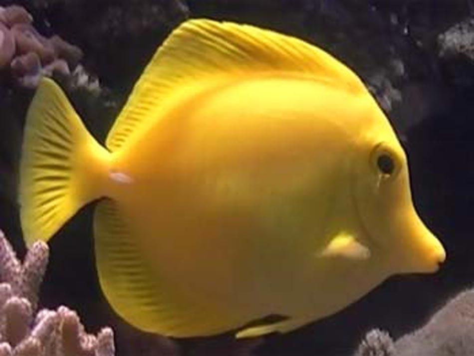 Yellow tang fish for Yellow saltwater fish