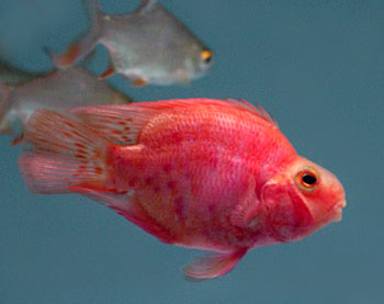 Blood parrot cichlid parrotfish for Red parrot fish