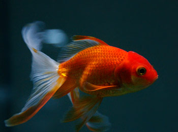 orange moor goldfish