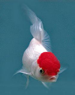 Description of the Oranda Goldfish