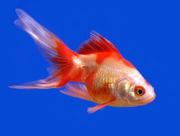Pet & Aquatic World : Description of the Ryukin Goldfish