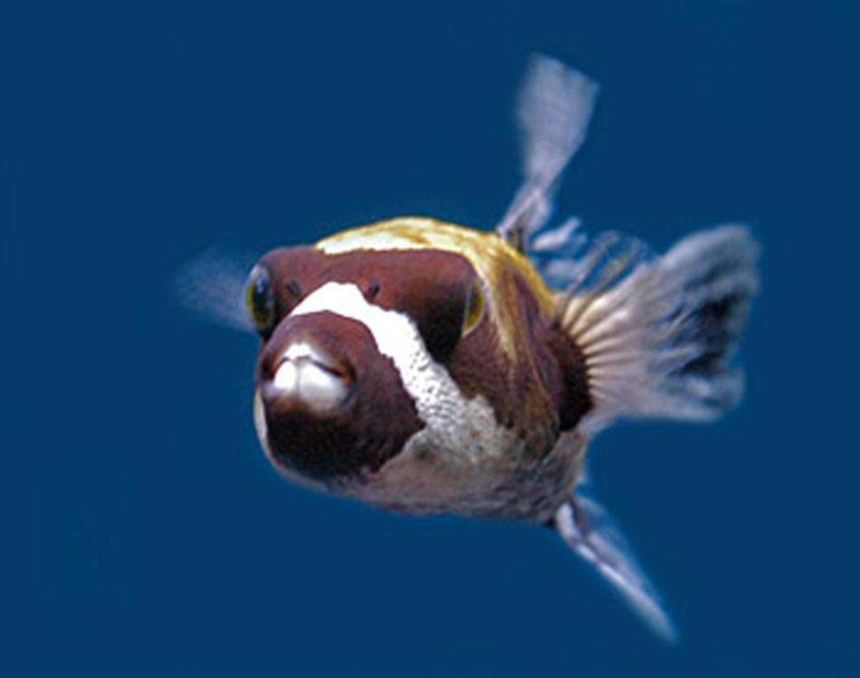 Dogfaced puffer fish for Dog face puffer fish