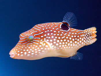 Jewel puffer fish for Types of puffer fish