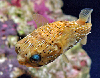Porcupine puffer fish for Types of puffer fish