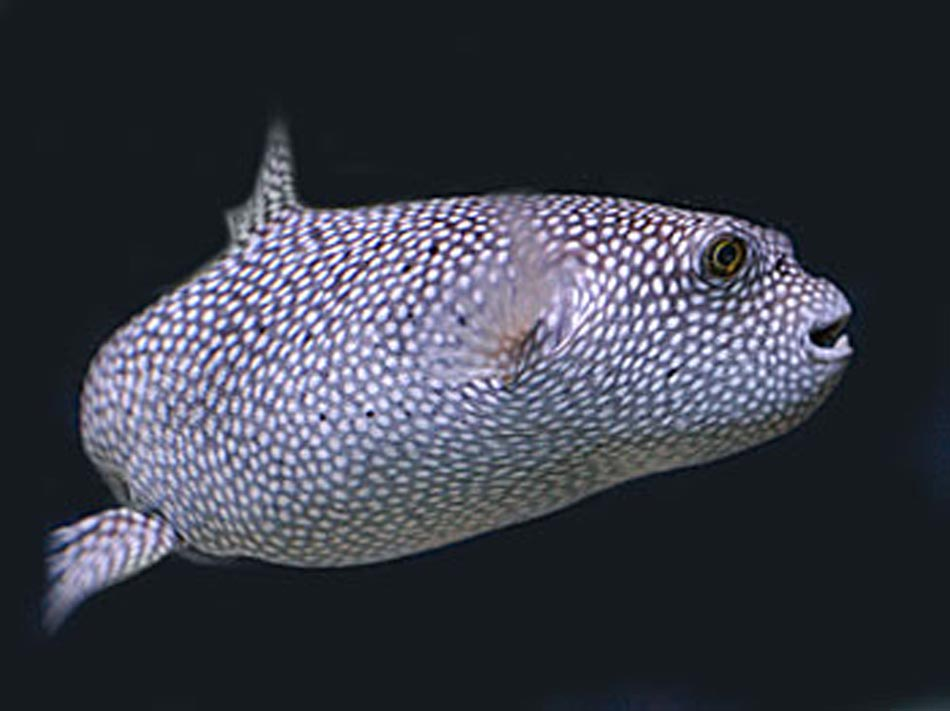 Spotted puffer fish for A puffer fish