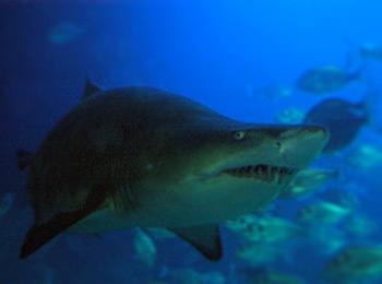Sand tiger shark for Saltwater fish representative species