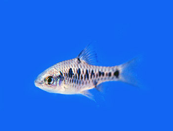 checkered barb the checkered barb is also known as the checker barb ...