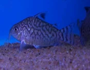 The Reticulated Corydoras is also known as the Mosaic Corydoras. They ...
