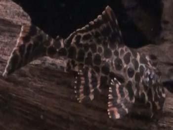 Picture of Leopard Sailfin Pleco