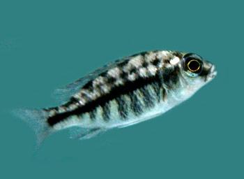description of the livingston s cichlid the livingston s cichlid is a ...