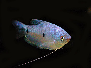 Types of tropical aquarium fish - photo#25